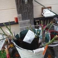 バラ裸苗植え付け