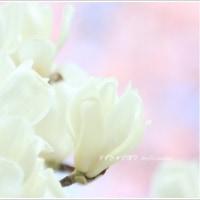 桜とハクモクレン