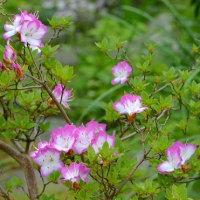 鉢植えの ミヤマキリシマツツジ(2)~「ミヤマ満月」