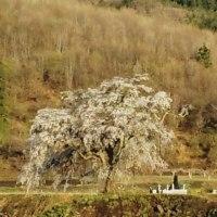 上発知の桜