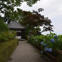 善峯寺の紫陽花