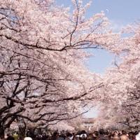 春の風物詩 お花見by上野公園