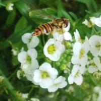 <ガーデニング>ミツバチが・・!!