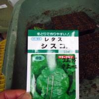 キャベツ・玉レタスのタネまき(爪楊枝播種できた!)