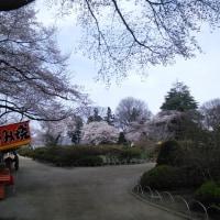 沼田の桜ようやく開花