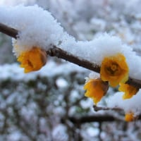 ロウバイ:蠟梅・臘梅(雪を頂いて)