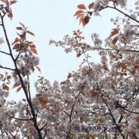 さくらさくらの桜餅