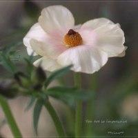 ラナンキュラス ラックス・アリアドネの開花 。。。備忘録