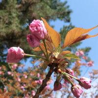 ハナズオウ&芝桜
