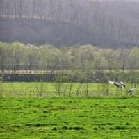 タンチョウ舞う牧草地。