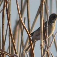 手賀沼  ホオジロ科の野鳥 ホオアカ(頬赤) ~その7~ 飛んでる姿