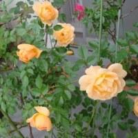 黄色のバラさん