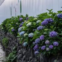 桃井小学校の紫陽花