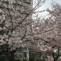 いわや公園での観桜会