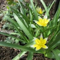 半日陰の庭で咲き始めた原種チューリップ