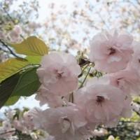 お姫様のような可憐な八重桜
