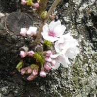 桜日記17 ⑪