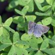 大和小灰蝶