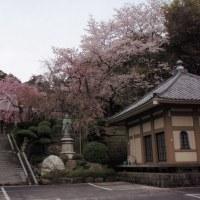 近くのお寺の桜が満開