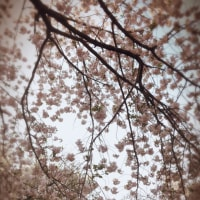 花見@新宿御苑