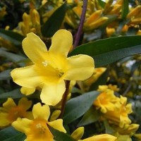 「季節の花カロライナジャスミン」