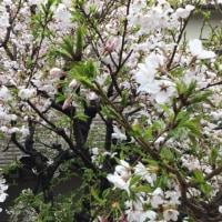桜とアトウラ 2017