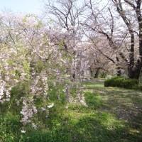 太田川沿いの桜並木の散歩道