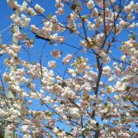風が強いですが八重桜が満開で頑張ってます