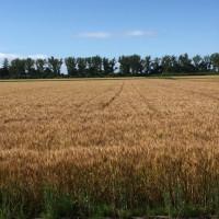 麦は咲き麦は増え