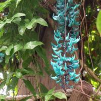 三陽メディア フラワーミュージアムの「ヒスイカズラ」