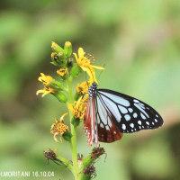 アサギマダラ(蝶)