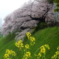 千鳥ヶ淵の桜 2017