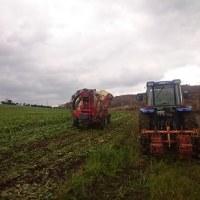 ビートの収穫二日目