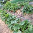 ルバーブ畝に灌水チューブ灌水