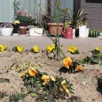 パンジー ビオラ 春の花がスタート・・・?
