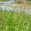 川の土手のにセイバンモロコシの穂が並んで