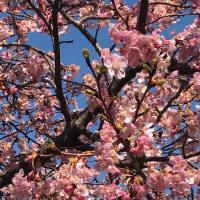 チリチリ桜?