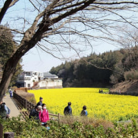 ・ 追分市民の森 菜の花満開 2017