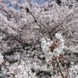 桜満開、土手散歩