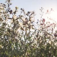 大根とルッコラの花