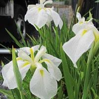 花菖蒲(はなしょうぶ)という花