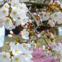 春の信州・・・真田丸・・・上田城の千本桜・・・満開