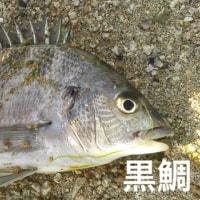 バケツ猫に 鯛〜♪釣り日より(=^○^=)おみやげニャン!(再)