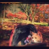 猫と一緒に紅葉狩り✿香嵐渓😺【猫日記こむぎ&だいず】2016.12.03