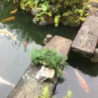 睡蓮 鯉産卵
