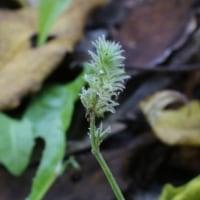 キツネノマゴ(キツネノマゴ科・キツネノマゴ属)一年草