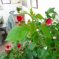 北陸では室内栽培がオススメ!ブーゲンビリア