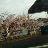 桜が開花し始めた。