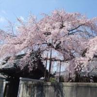 満開! 心念寺しだれ桜 見送る桜