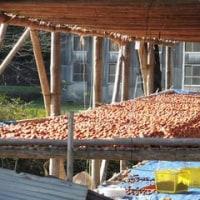 初冬の風物詩「古老柿(ころがき)」作りは最盛期だ!